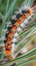 peli_processionaria insetto